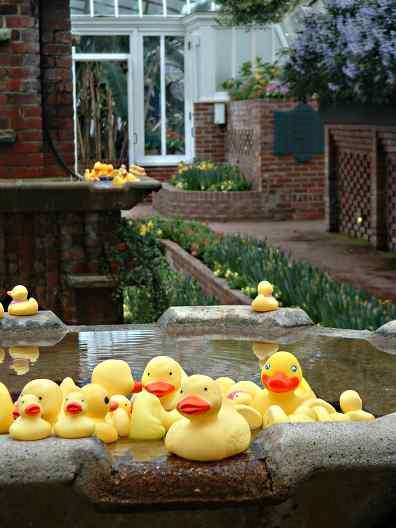 phipps-ducks.jpg