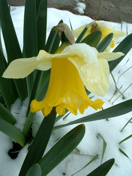 2009-04-06-daffodil-in-snow-01