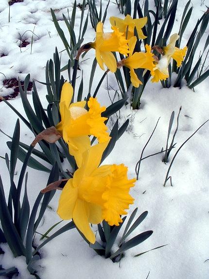 2009-04-06-daffodil-in-snow-02
