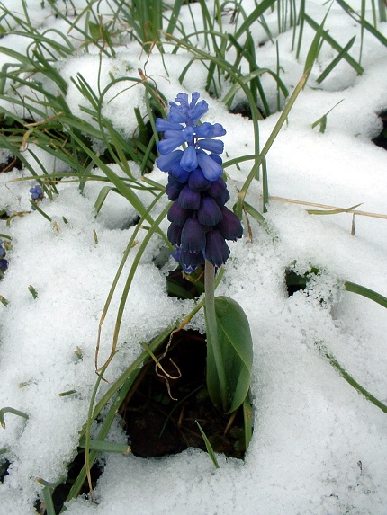 2009-04-06-grape-hyacinth-in-snow-01