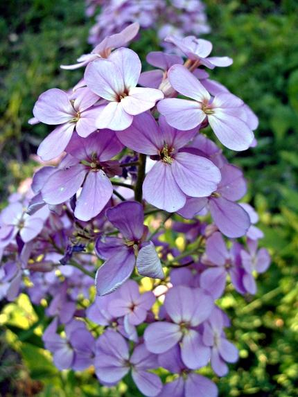 2009-05-20-Hesperis-matronalis-03