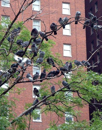 2009-06-05-Pigeons