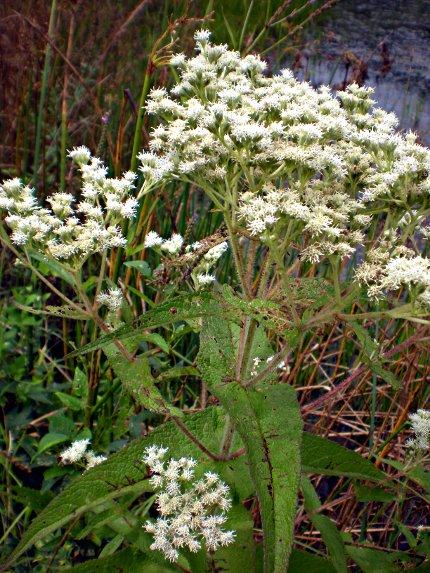 Eupatorium-perfoliatum-01