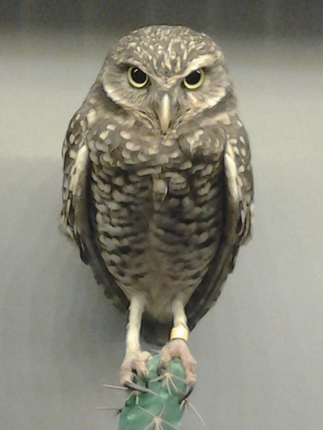 2013-01-21-aviary-burrowing-owl-01