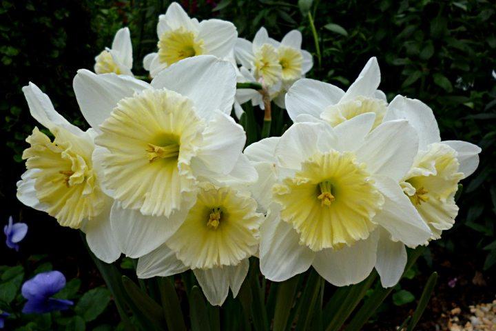 2012-03-12-Phipps-daffodils-01