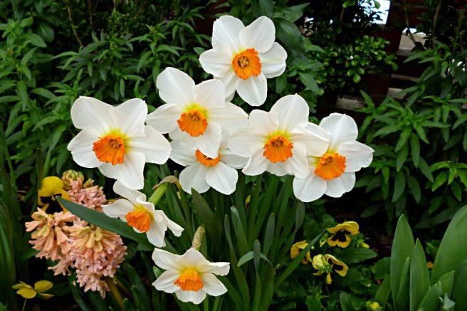 2012-03-12-Phipps-daffodils-02