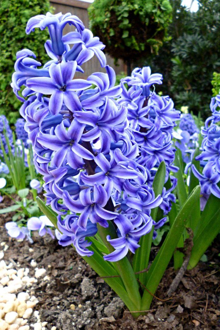 2012-03-12-Phipps-hyacinth-01