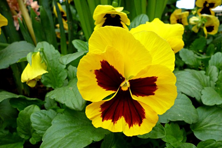 2012-03-12-Phipps-pansy-01