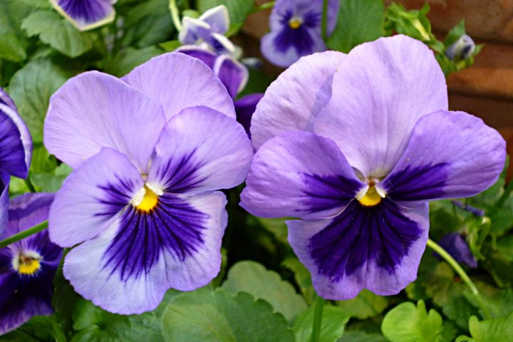 2012-03-12-Phipps-pansy-02