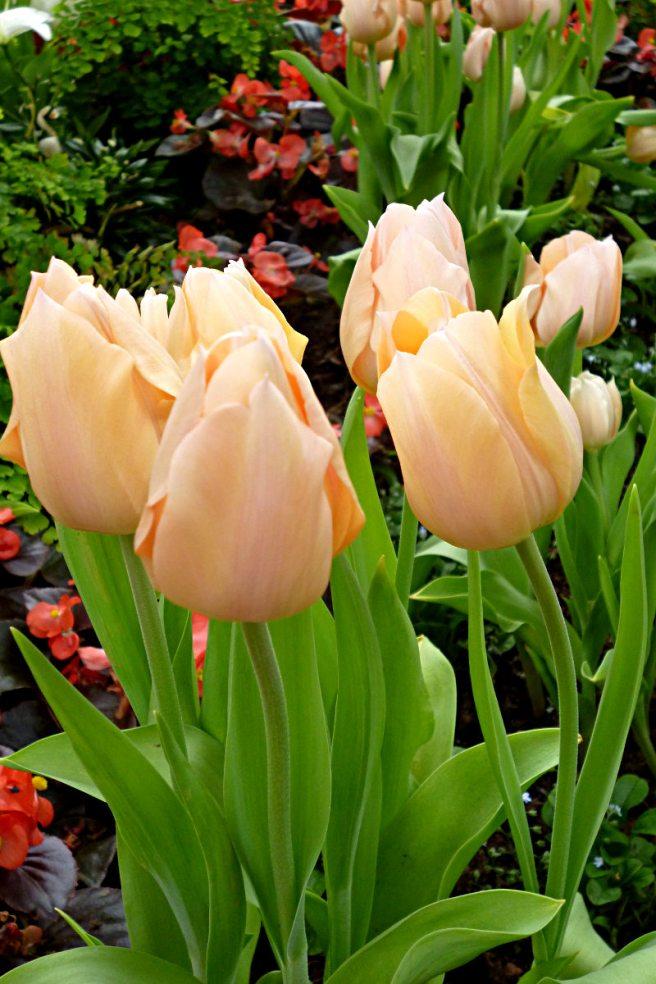 2012-03-12-Phipps-tulips-01