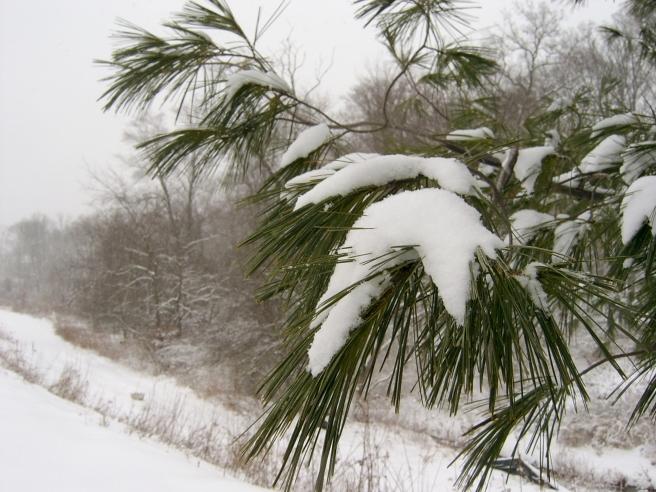 Snow on Pine, Cranberry, 2015-01-26, 01