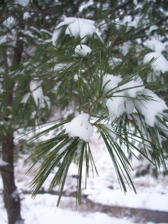 Snow on Pine, Cranberry, 2015-01-26, 02