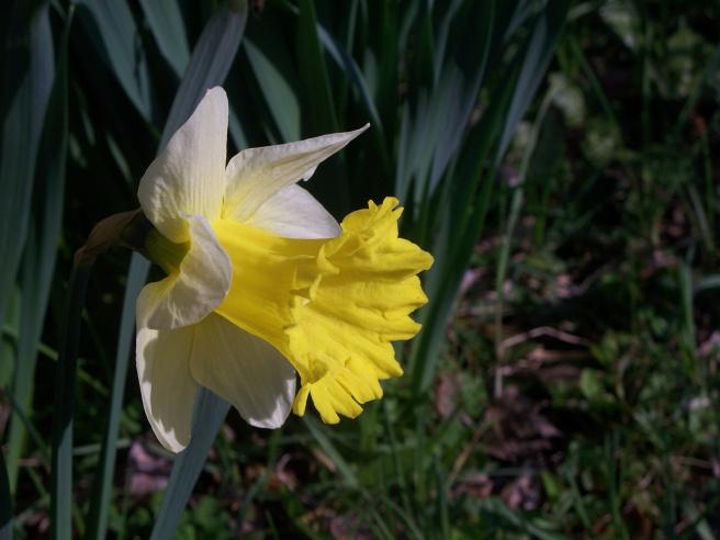 Daffodil 2015-04-13 01 smaller