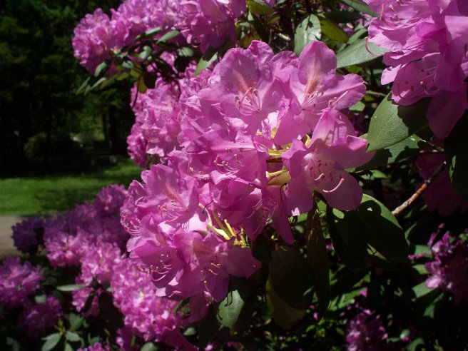 Rhododendron, Homewood Cemetery, 2015-05-19, 02